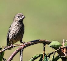 The Little House Finch by Kay  G Larsen