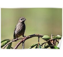 The Little House Finch Poster