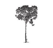 Australian Native Tree by drawnword