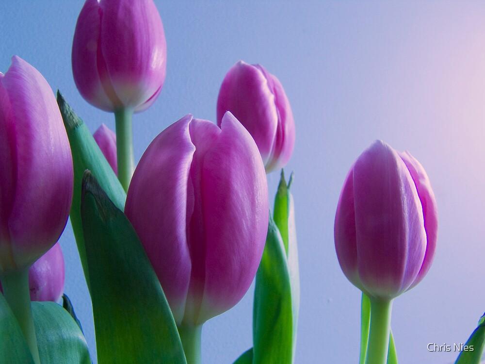 Tulips by Chris Nies