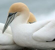 Gannets by photohunter