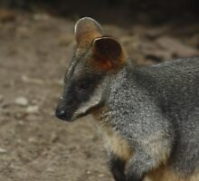 Wallaby by Alyce Taylor