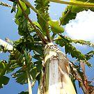 Banana Tree by André  Oliv