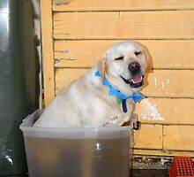 George Cools Down - Labrador in Bucket! by AusDisciple