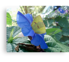 Sulphur Butterfly in Morning Glory Metal Print