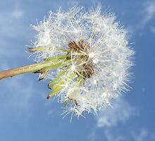 Dandilion ready to fly away by Ann Persse