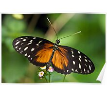 Ismenius Longwing (Heliconius isemenius) Poster
