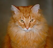 My Maine Coon Cat - Neo by AusDisciple
