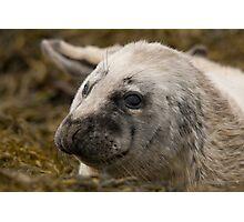 Grey Seal Pup Photographic Print