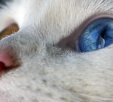 Daisy the Heterochromia eyed cat by Alphafish