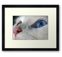 Daisy the Heterochromia eyed cat Framed Print