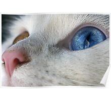 Daisy the Heterochromia eyed cat Poster