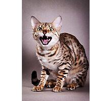 Bengal cat meows Photographic Print
