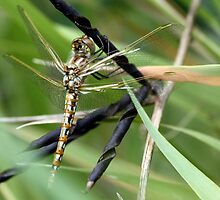 Variegated Meadowhawk, Immature, Perched on Seed Pod by Wolf Read