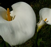 CALA LILIES by Marilyn Grimble