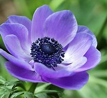 Blue Anemone by Astrid Ewing Photography