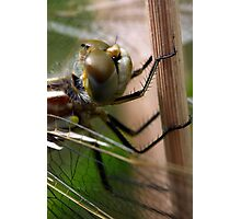Variegated Meadowhawk, Immature Female, Portrait 1 Photographic Print