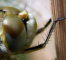 Variegated Meadowhawk, Immature Female, Close Crop of Eyes 2 by Wolf Read
