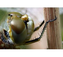 Variegated Meadowhawk, Immature Female, Close Crop of Eyes 2 Photographic Print