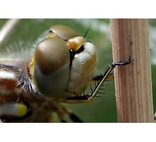 Variegated Meadowhawk, Immature Female, Close Crop of Eyes 1 Photographic Print