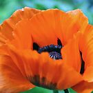 Red Poppy by Astrid Ewing Photography
