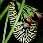 Monarch Caterpillar by Marie Terry