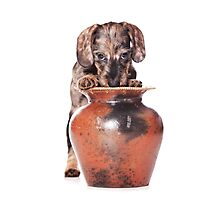 wire-haired dachshund puppy and a vase Photographic Print