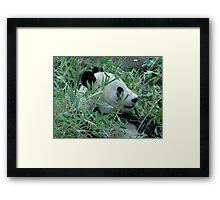 San Diego Zoo Panda  Framed Print