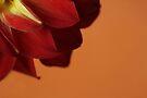 Dahlia Closeup with Orange Background by Adam Bykowski