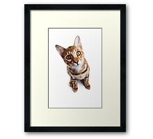 Bengal cat with big eyes Framed Print