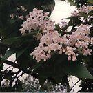 Catalpa flowers  by ElfJoyRosser