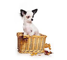 Chihuahua puppy in a basket Photographic Print