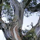snow gums.....dancers of the bush by gaylene