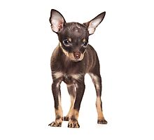 Brown Puppy Toy Terrier Photographic Print