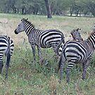The Zebra Family, Tarangire National Park, Tanzania by Adrian Paul