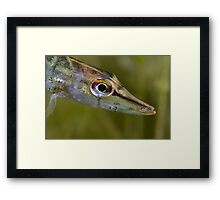 Northern pike (Esox lucius) Framed Print