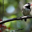 Rudolph the Black-Capped Chickadee (Frame 3) by Wolf Read