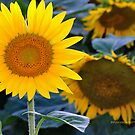 Sunflowers 09 1.5 by PJS15204
