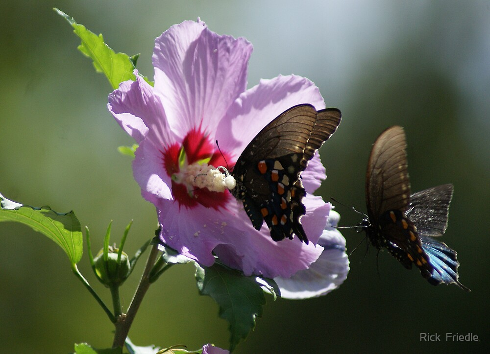 Pair of Butterflies by Rick  Friedle