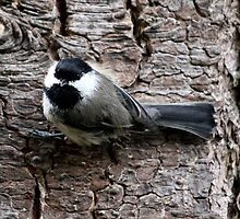 Black-Capped Chickadee Clinging to Bark (Frame 2) by Wolf Read