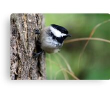Black-Capped Chickadee on Side of Douglas-Fir Canvas Print