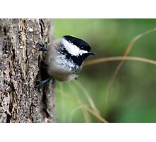 Black-Capped Chickadee on Side of Douglas-Fir Photographic Print