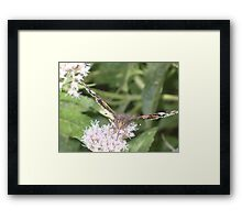 Red Admiral butterly Framed Print