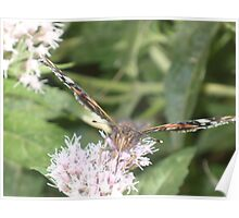 Red Admiral butterly Poster