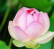 Lotus Blossom by Anne Smyth