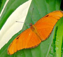 ORANGE BUTTERFLY( Dryas iulia )ON DIEFFENBACHIA LEAF by Johan  Nijenhuis