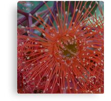 Red Flowering Gum Canvas Print