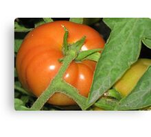 First Ripe Tomato Canvas Print