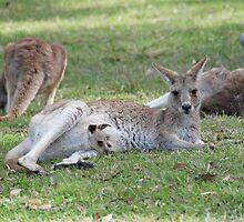 Eastern Grey Kangaroos, NSW, Australia by Adrian Paul