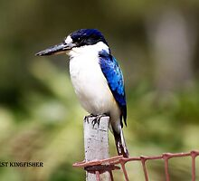 Forest Kingfisher by robmac